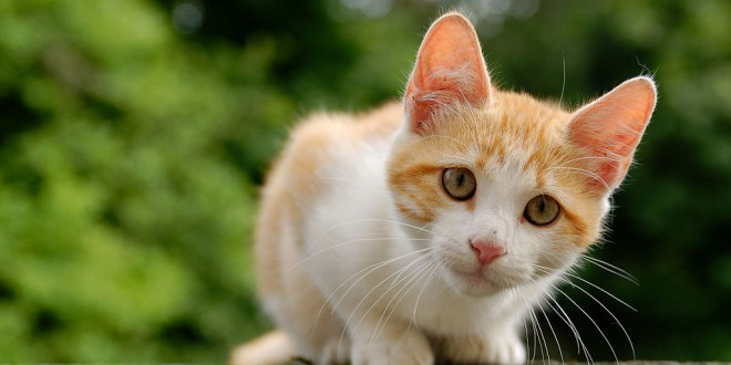 1024px-golden_tabby_and_white_kitten_n031