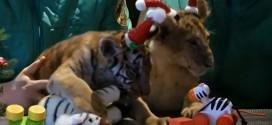 bebe tigre lion noel