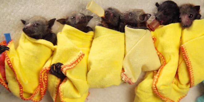 chauve souris bebes
