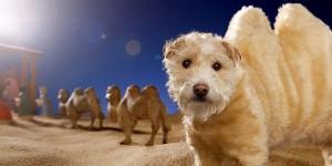 chien chameau