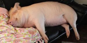 cochon esther