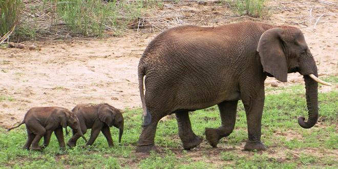 elephant jumeaux rare