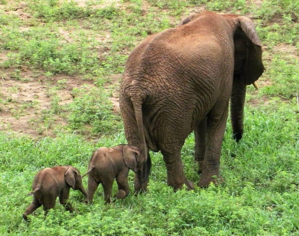 elephanteaux jumeaux rare