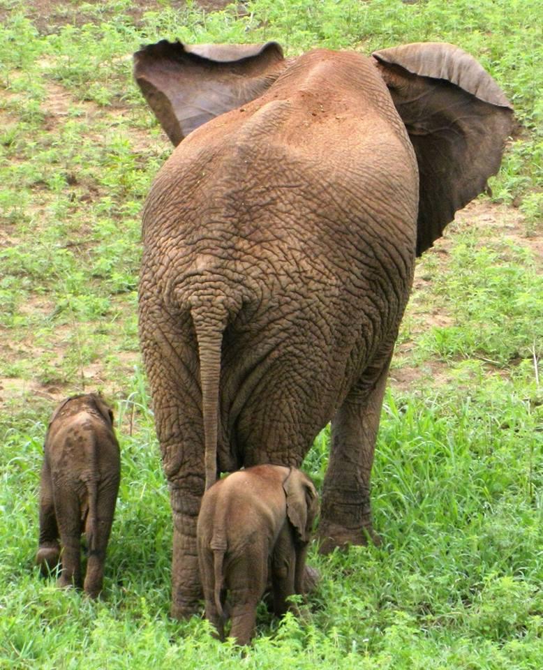 elephanteaux jumeaux