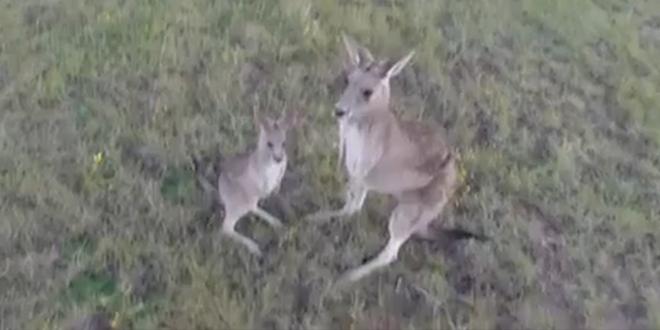 kangourou drone