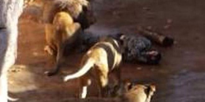 un homme rentre dans l 39 enclos des lions et se fait attaquer. Black Bedroom Furniture Sets. Home Design Ideas