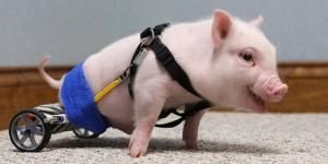 Chris P. Bacon le cochon