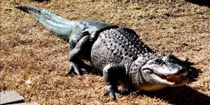 Mister Stubbs Aligator
