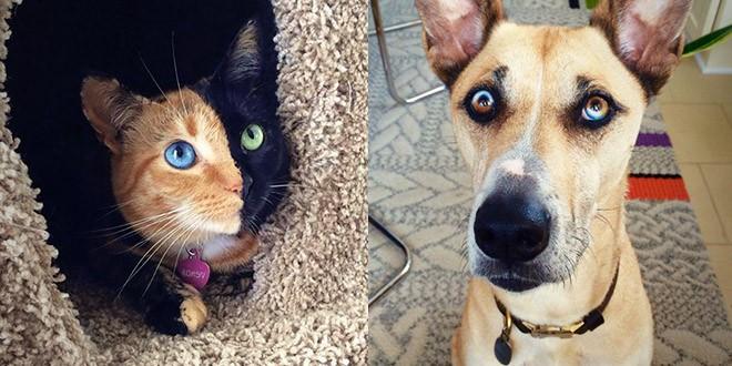 chat chien yeux vairons bleus couleurs differentes