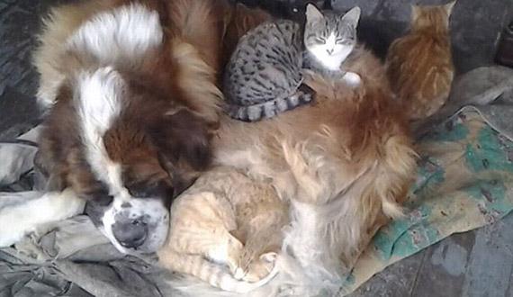 chat dort sur chien