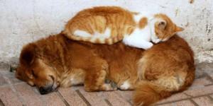 chat dort sur chien13