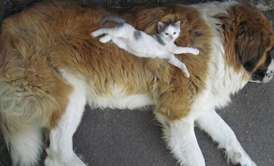 chat dort sur chien16