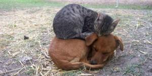 chat dort sur chien8