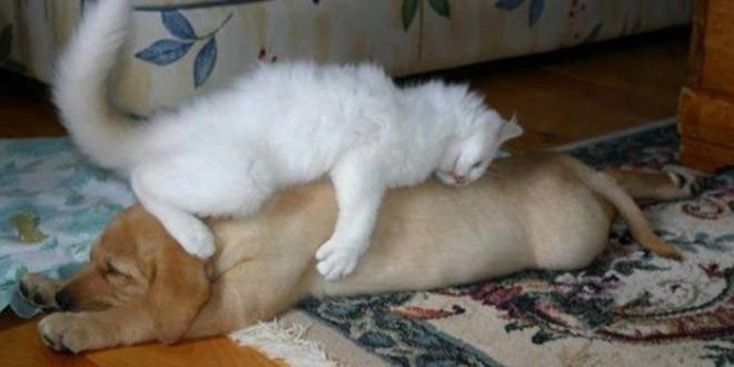 chat dort sur chien7