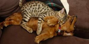 chat dort sur chien9