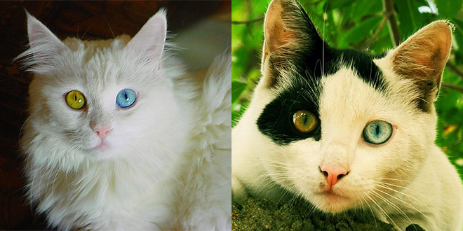 chat yeux couleurs differentes