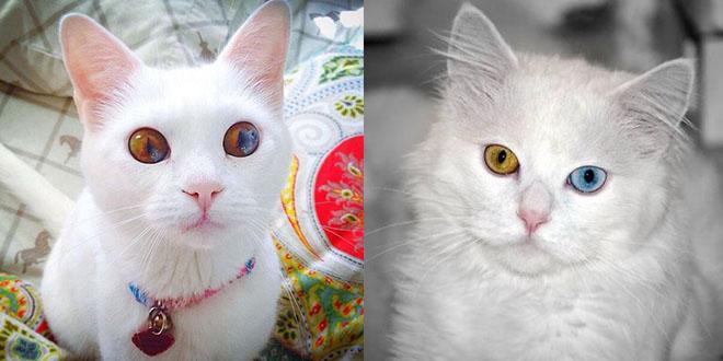 chat yeux deux couleurs