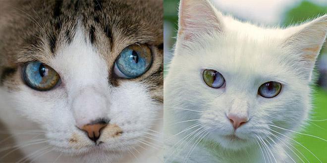 chat yeux vert bleu