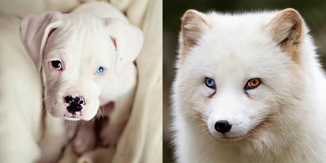 chien yeux vairons couleurs differentes