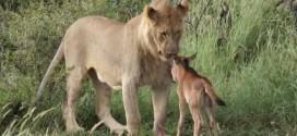 lion et bebe gnou