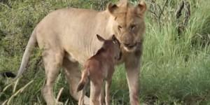lion et gnou