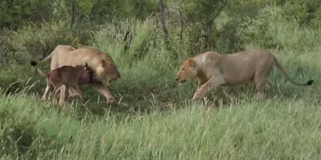 lions se battent pour un gnou