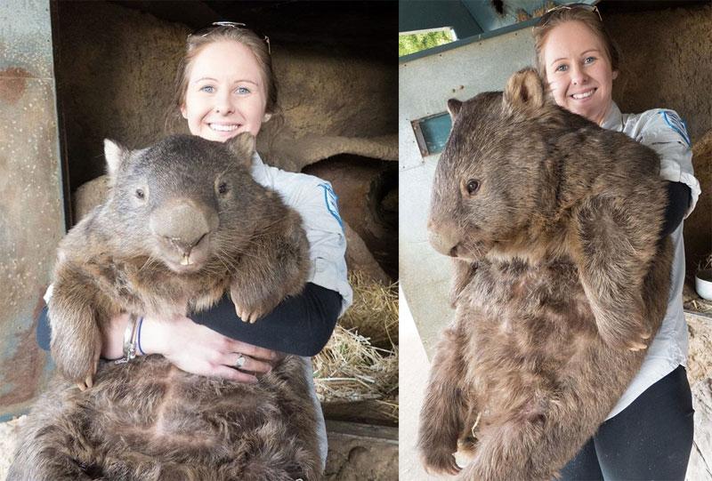 patrick le plus vieux et le plus grand wambat