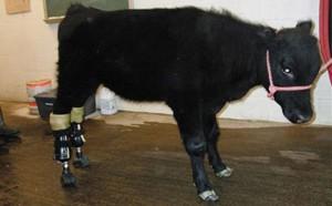 veau prothese