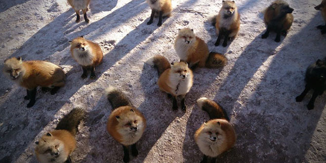 village renards fox japon