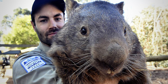 wambat australie patrick