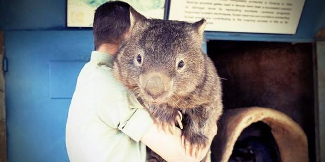wambat le plus gros du monde patrick