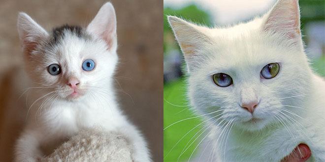 yeux deux coulyeux deux couleurs chatonseurs chatons
