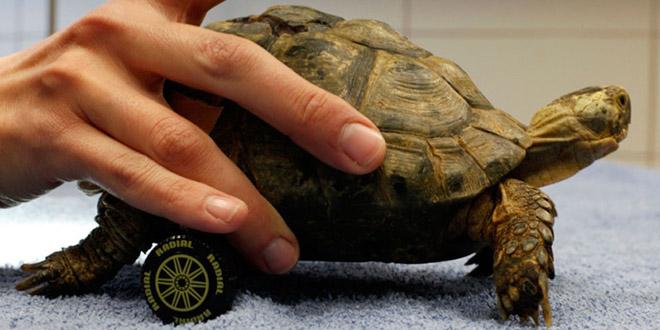 zvika la tortue