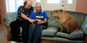 capybara rongeur geant