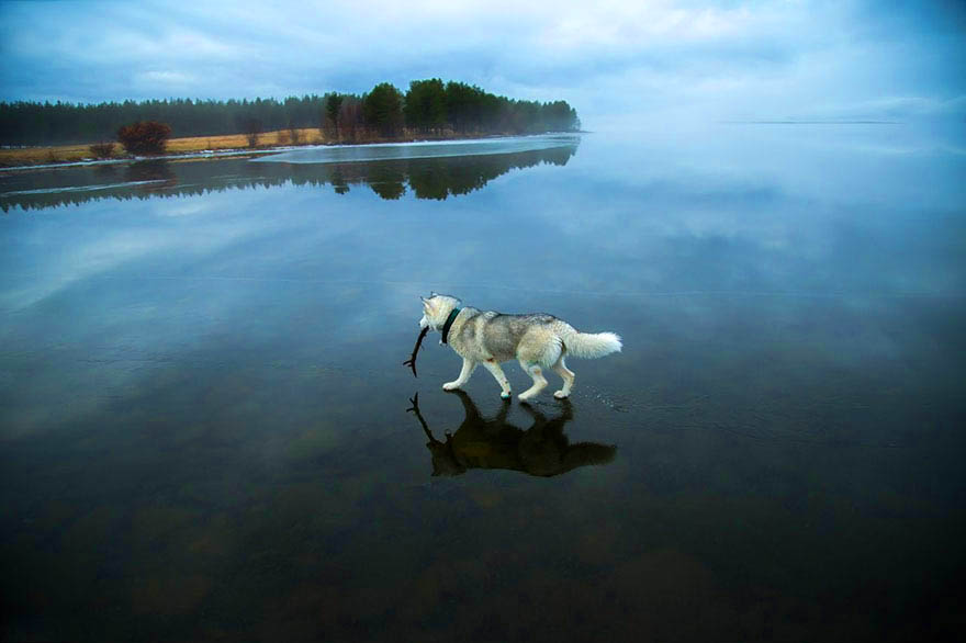 husky-photo-lac