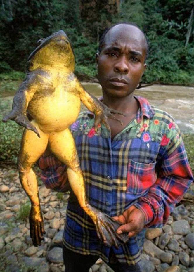 grenouille geante afrique