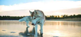 husky-photo-lac