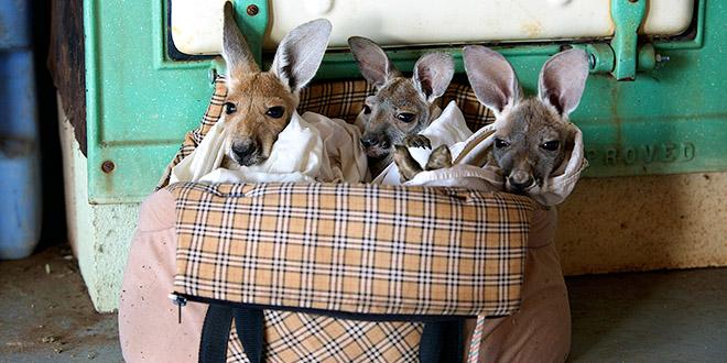 kangourous orphelins