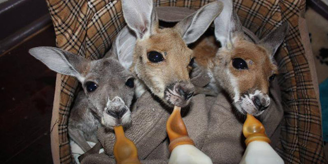orphelin bebe kangourous sans maman