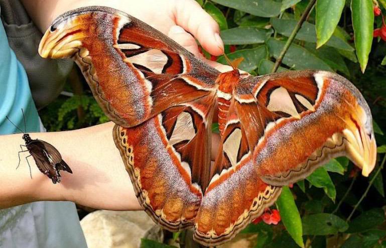 papillon atlas geant