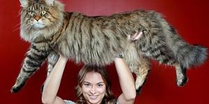 plus gros chat du monde main coon