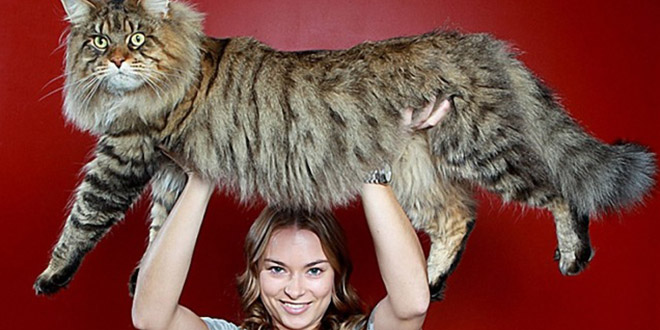 plus gros chat du monde main coon
