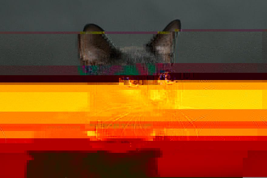 chat-noir-photos-derniers-adopté-premier-euthanasié