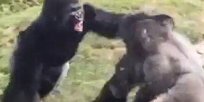 combat-de-gorille-zoo-usa-combat-de-boxe