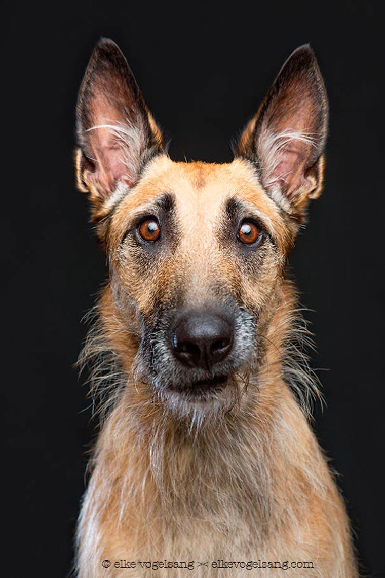 photographe-photos-de-chiens-comme-des-mannequins