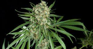 nouvelles-tendances-sur-le-marche-du-cannabis-les-graines-riche-en-cbd