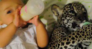 heure-du-biberon-bebe-jaguar-et-nourisson