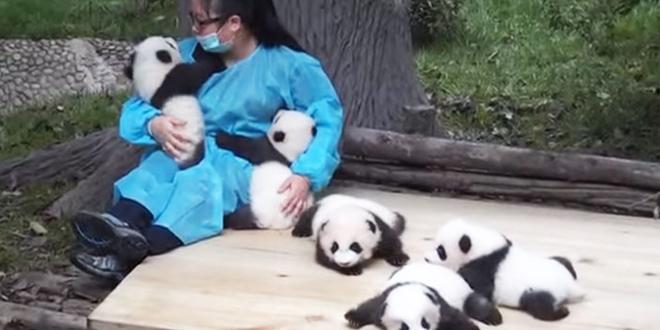 meilleur-job-du-monde-calins-panda