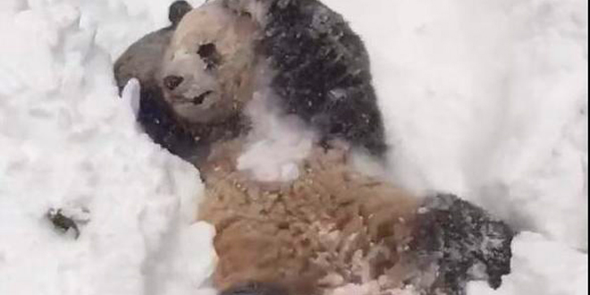panda-s-amuse-dans-la-neige