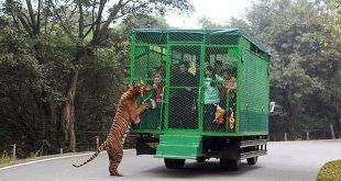 zoo-fauve-en-liberte-humains-en-cage